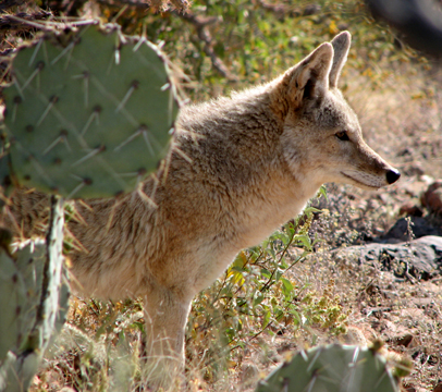 Coyote behind prickley pear cactus